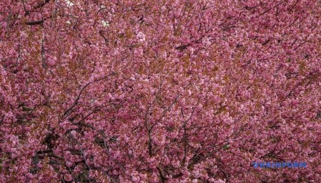 Photo of В Мукачево до цветения сакуры устроят фестиваль ханами