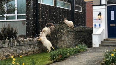 Photo of Горные козлы «захватили» пустые улицы города в Уэльсе