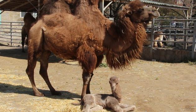 Photo of В Харьковском зоопарке верблюд трижды за весну стал папой