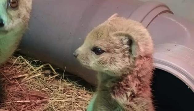 Photo of В киевском зоопарке EKZOland» родились малыши редкого вида мангустов