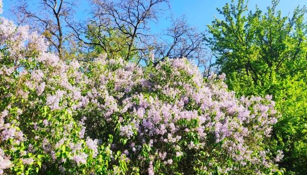 Photo of На Полтавщине цветет 200-летний Сиреневый гай