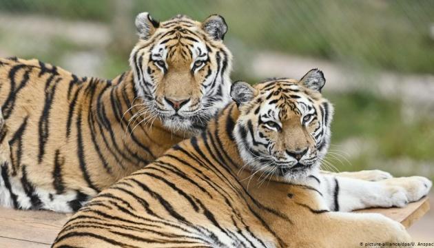 Photo of Два тигра досрочно вышли на пенсию после многолетней работы в немецком цирке