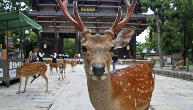 Photo of Отсутствие толп туристов изменила поведение оленей в японской Наре