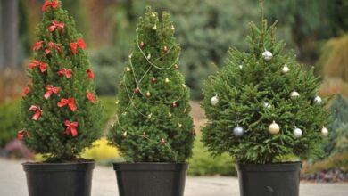 Photo of Праздник приближается: стали известны цены на елки