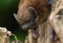Photo of На Прикарпатье спасли колонию краснокнижных летучих мышей