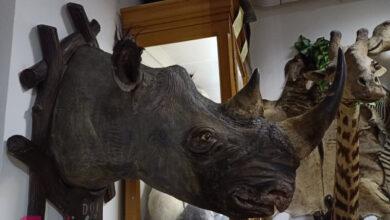 Photo of Во львовском музее отреставрировали редкого носорога