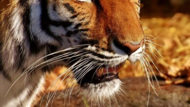 Photo of Саблезубый кот из Северной Америки оказался самым крупным в мире