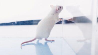 Photo of Вакцины от коронавируса будут тестировать на светящихся мышах